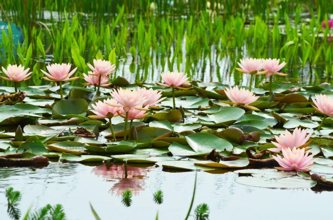 洪泽湖湿地荷花品种繁多,异彩纷呈,随手一拍都是大片!